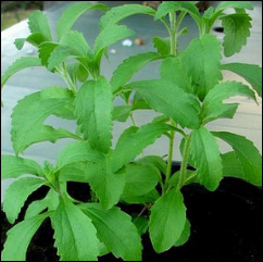 beautiful stevia plant